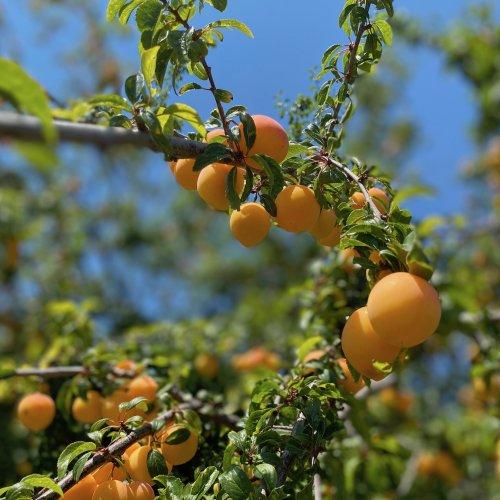 aprikosen - 1