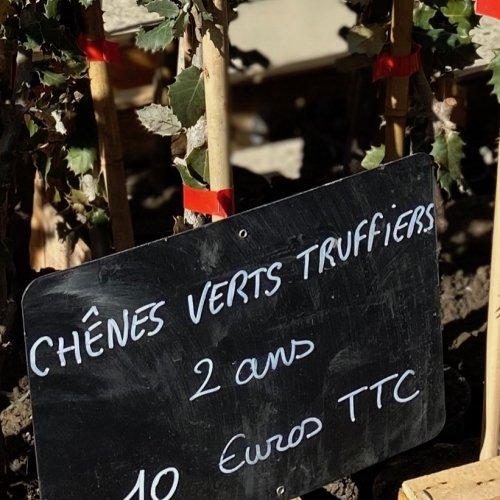 Trüffeleichen - 1