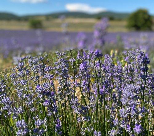 Lavendelporträt - 1 (1)